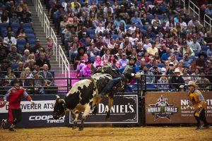 riding bulls